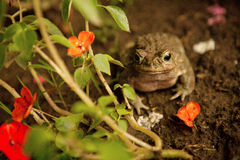 Free Toad Royalty Free Stock Image - 29787756