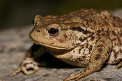 Toad. Photo of a Common Toad, Bufo Bufo.Close up of the head and forequarters with the eye in sharp focus Stock Photo