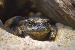 Toad. A toad hiding under a rock Royalty Free Stock Photos