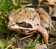 The Toad. Close-up of the toad in wild nature, on a meadow. Single light-brown toad Royalty Free Stock Photo