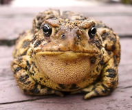 Toad. A toad my son found and was willing to be photographed Stock Image
