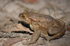 Toad. Frog – toad in the sun Stock Photos