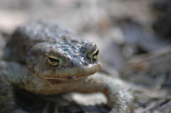 Toad. Frog – toad in the sun Royalty Free Stock Images