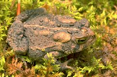 Toad. Sitting in moss royalty free stock images