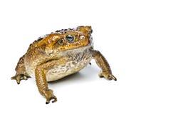 Toad aga. Rhinella marina. Royalty Free Stock Images