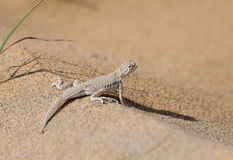 Toad agama in Kyzyl Kum desert, Uzbekistan Royalty Free Stock Image