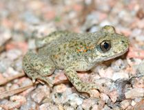 Toad.(Alytes obstetricans) Royalty Free Stock Photos