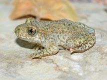Toad.(Alytes obstetricans) Stock Photos
