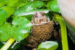 Toad, amphibian in Asia. Toad, amphibian in Asia, selective focus Stock Images
