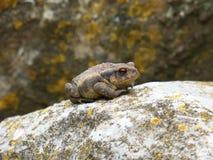 Toad, Amphibian, Frog, Fauna royalty free stock image