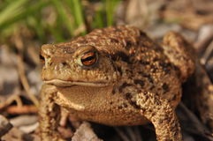 Toad. Amphibian during the spring. Awakening and mating Stock Photo