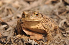 Toad. Amphibian during the spring. Awakening and mating Royalty Free Stock Images