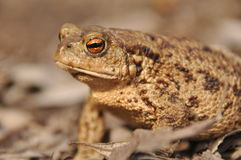 Toad. Amphibian during the spring awakening Stock Photography