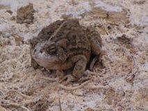 Toad, Amphibian, Terrestrial Animal, Frog