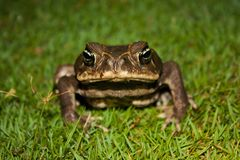 Toad as nocturnal animal in Corcovado national park, Costarica. Rainforest wildlife stock images