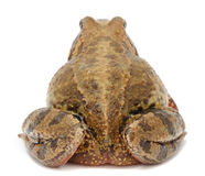 Toad (Back View) Royalty Free Stock Photo