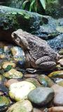 The toad. In Berlin aquarium Royalty Free Stock Photography