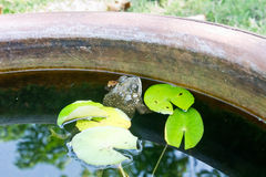 Toad in big clay pot Royalty Free Stock Photo