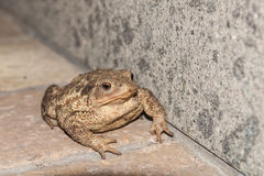 Toad. Big toad on the ground Stock Photos