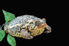 Toad With Black Background royalty free stock images