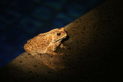 Toad Bright Royalty Free Stock Image