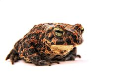 Toad. The brown toad is a very usefull animal and protected Royalty Free Stock Photos