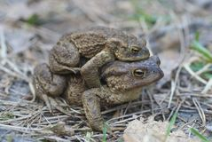 Toad (bufo, bufo) Royalty Free Stock Image