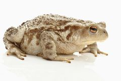 Toad (bufo bufo) Royalty Free Stock Images