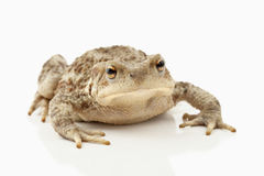 Toad (bufo bufo) Royalty Free Stock Photos