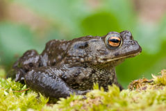 Toad (Bufo bufo) Stock Photography