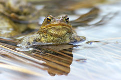 Toad (Bufo bufo). Close up of a male toad in water Stock Images
