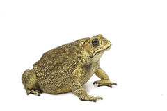 Toad,Bufo bufo (Common Toad) Stock Photography