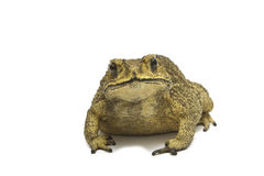 Toad,Bufo bufo (Common Toad) Stock Image