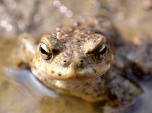 Toad, Bufo bufo Stock Images