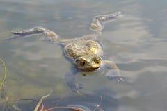 Toad Bufo Bufo Stock Photo