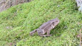Toad bufo bufonidae amphibia animal crawl swarm moss stock video footage