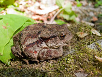 Toad (Bufo gargarizans) 1 Royalty Free Stock Image