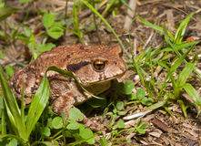 Toad (Bufo gargarizans) 17 Royalty Free Stock Image