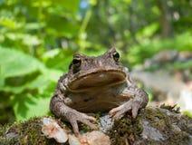 Toad (Bufo gargarizans) 2 Stock Photo