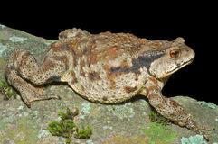 Toad (Bufo gargarizans) 26 Royalty Free Stock Photos