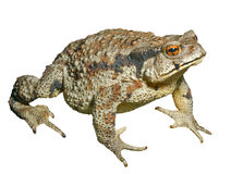 Toad (Bufo gargarizans) 29 Stock Photo