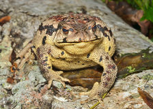 Toad (Bufo gargarizans) 30 Stock Photo