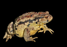 Toad (Bufo gargarizans) 31 Stock Image