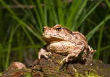 Toad (Bufo gargarizans) 8 Stock Photos