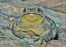 Toad (Bufo gargarizans) 26 Royalty Free Stock Images