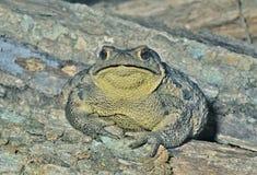 Toad (Bufo gargarizans) 27 Stock Images