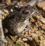 Toad Bufo Melanostictus Royalty Free Stock Images