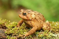 Toad (Bufo sp.) Stock Photo