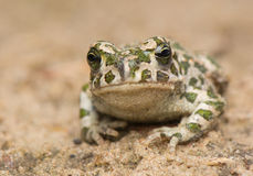 Free Toad - Bufotes Viridis Royalty Free Stock Photos - 41371648