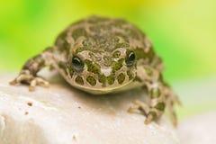 Free Toad - Bufotes Viridis Stock Photography - 41371732